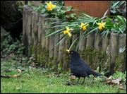 23rd Mar 2016 - Blackbird singing in the dead of night