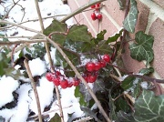 2nd Dec 2010 - Snow Berries
