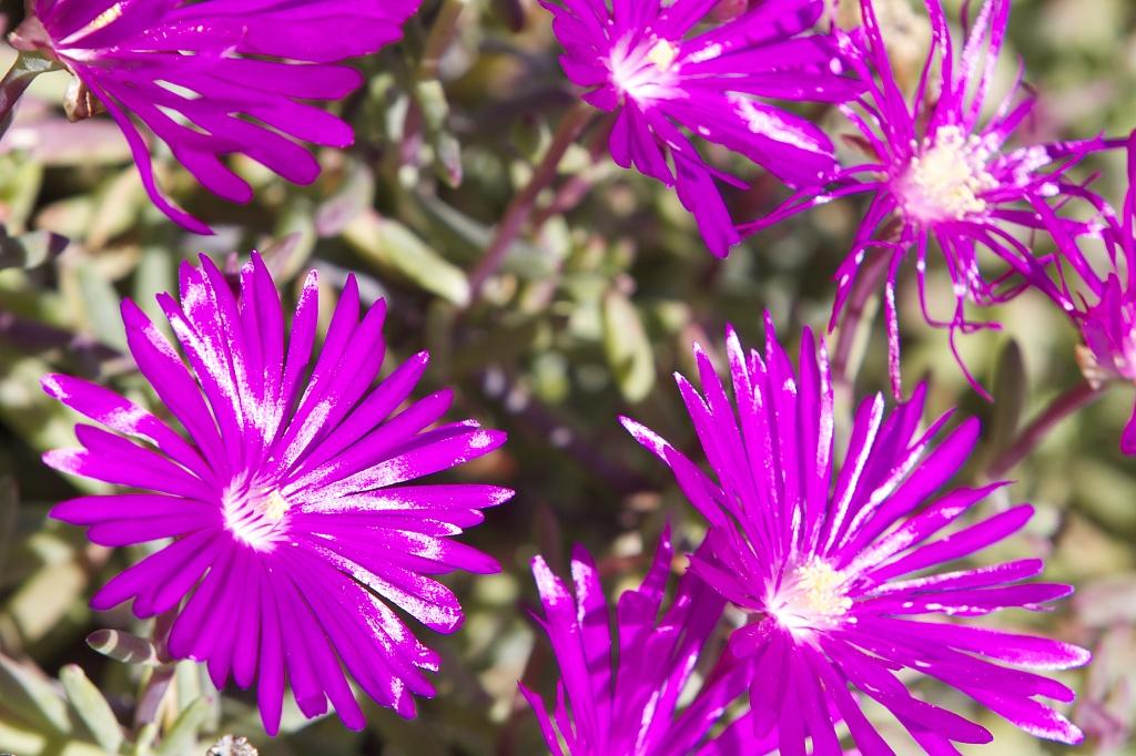 Iceplant Crop SOOC by robv