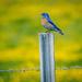 Western Bluebird by elatedpixie