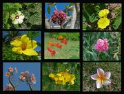 26th Mar 2016 - Cuban flowers