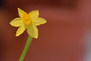 26th Mar 2016 - mini daffodil