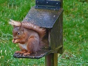 27th Mar 2016 - Soggy Squirrel