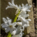 White Hyacinth