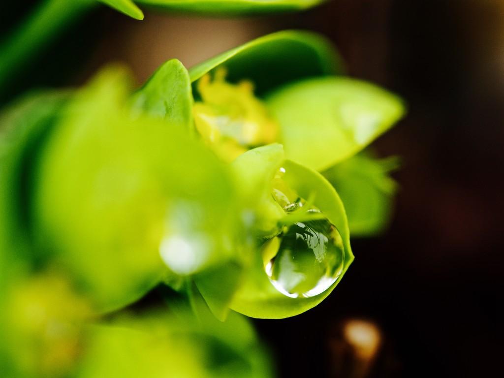 Spurge bubble by pistache