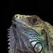 Green Iguana by leonbuys83