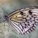 Butterfly 1   by taffy