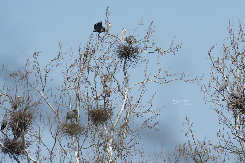 The Heron Rookery by janetb