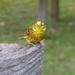 Yellowhammer  by susiemc