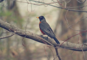 28th Mar 2016 - A Robin in the Maple