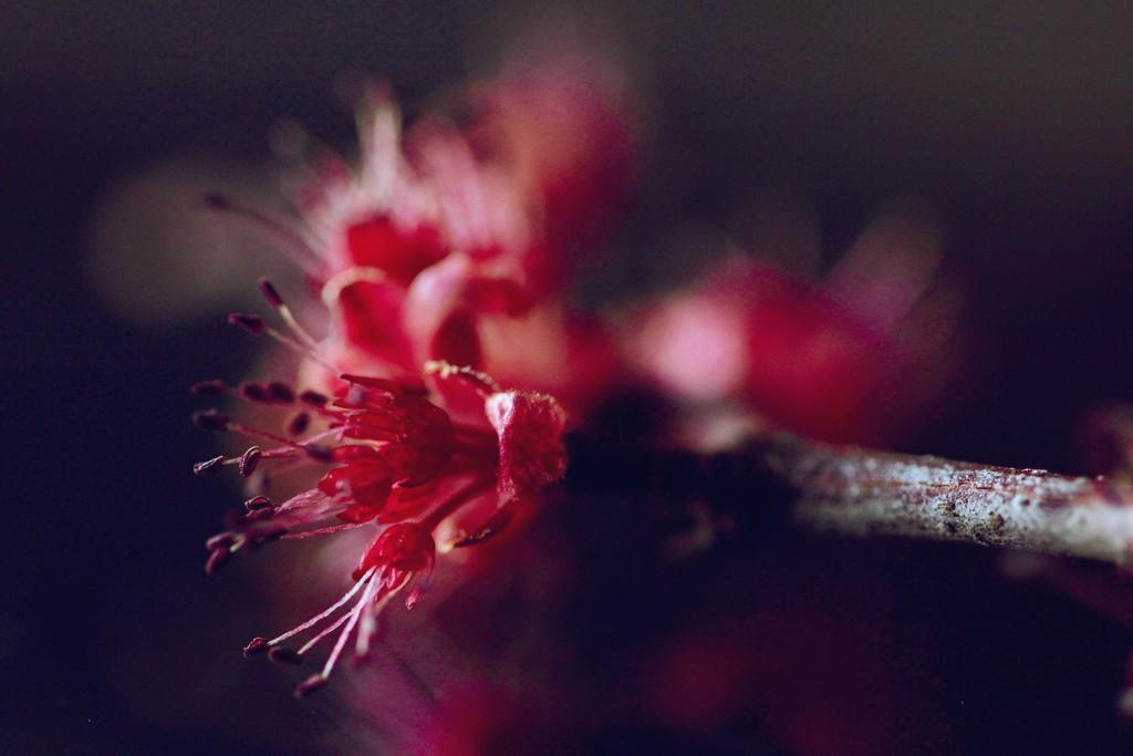 Maple Flower by mzzhope