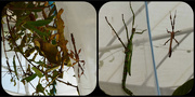28th Mar 2016 - A few more Stick Insects.....