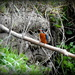 Kingfisher by rosiekind