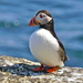 PAPAY PUFFIN by markp