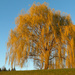 Weeping willow during golden hour. by mittens