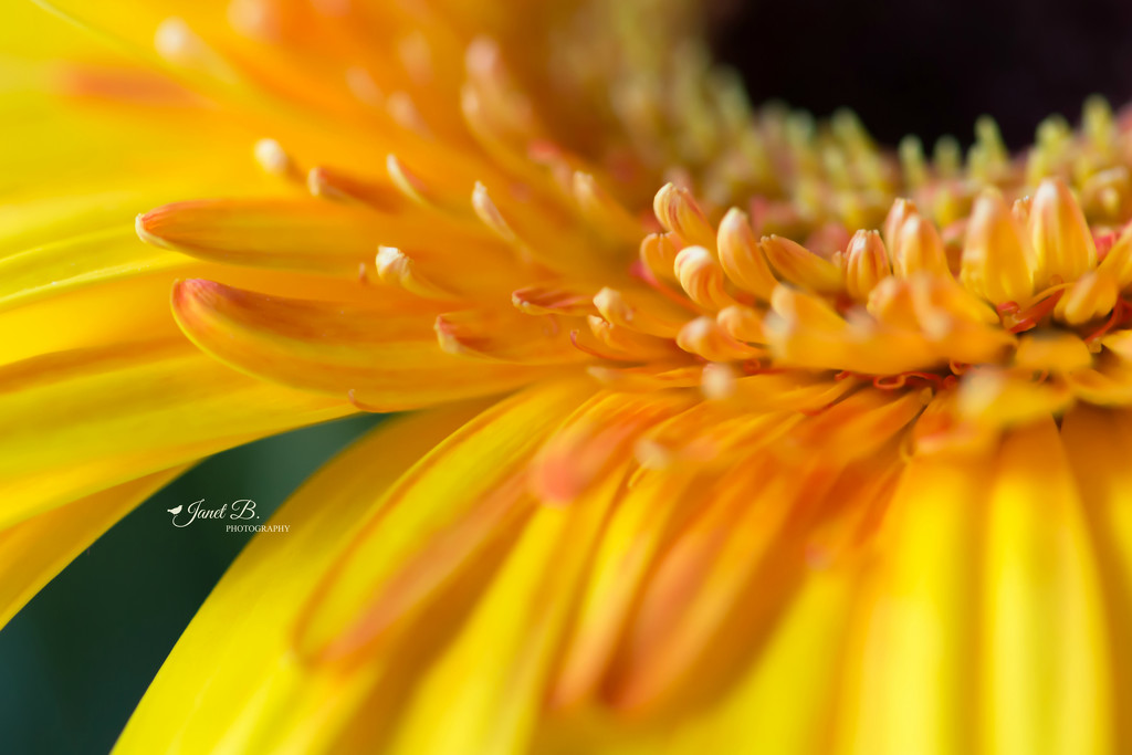 Gerbera Daisy by janetb