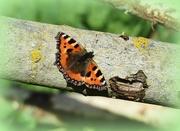29th Mar 2016 - Early butterfly