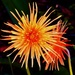 Orange Gerbera.. by happysnaps