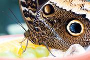 30th Mar 2016 - Fruit loving Butterfly