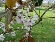 31st Mar 2016 - Blossom......