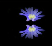 1st Apr 2016 - Another anemone