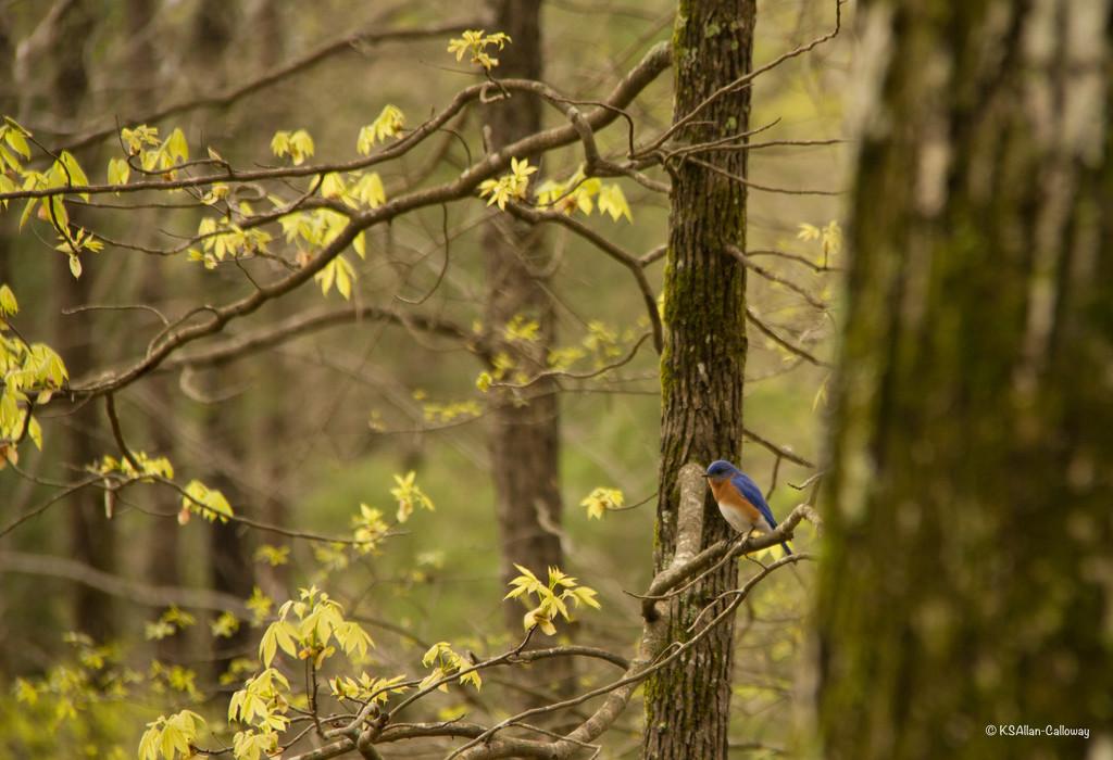 Eastern bluebird by randystreat