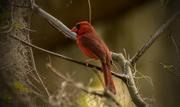 1st Apr 2016 - Mr Cardinal almost posing!