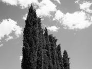 2nd Apr 2016 - row of cypress