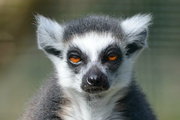 2nd Apr 2016 - Mangoky the Ring-Tailed Lemur