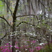 Spring finery, Magnolia Gardens, Charleston, SC by congaree