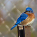 A Bluebird Kind of Day by milaniet