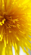 2nd Apr 2016 - Dandelion