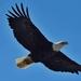 mature bald eagle by mjalkotzy