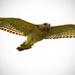 Hawk In Flight! by rickster549