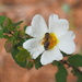 A white flower and a bee by laroque