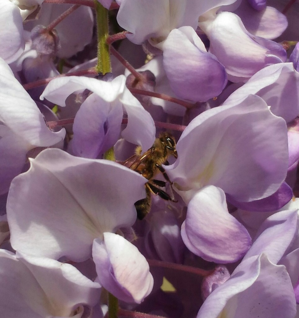 Bees love wisteria by frappa77