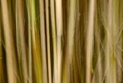 21st Mar 2016 - Bamboo blur