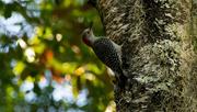 3rd Apr 2016 - Red-bellied Woodpecker