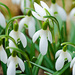 Snowdrops by elisasaeter