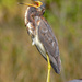 Tri-Colored Heron? by danette