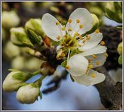 4th Apr 2016 - Plum Blossom
