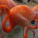 Greater Flamingos by annepann