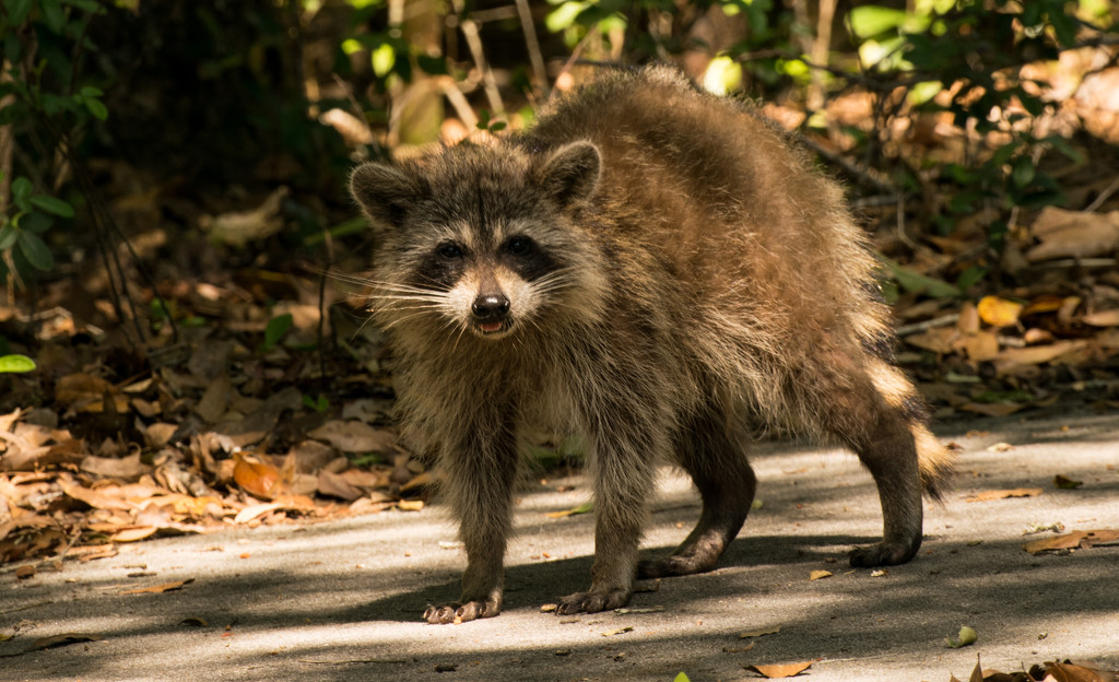 Rocky Raccoon is Still Out! by rickster549