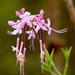 Wild azalea, Beidler Forest, Four Holes Swamp by congaree
