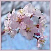 2nd Apr 2016 - spring blossom