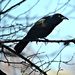Common Grackle  by mej2011