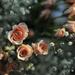 Roses for fun by loweygrace