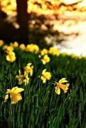 6th Apr 2016 - 2016-04-06 semi-wild daffodils juste before sunset