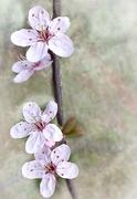 6th Apr 2016 - Ornamental cherry blossom