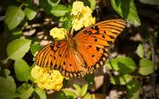 6th Apr 2016 - Gulf Fritillary Butterfly